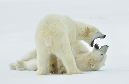 Fighting Polar bears (Ursus maritimus ) on the snow. Arctic tundra. Stock fotó