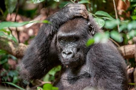 animales de la selva: gorila de tierras bajas en el Congo selva. Retrato de un gorila de llanura occidental (Gorilla gorilla gorilla) de cerca a una corta distancia. gorila joven en un h�bitat natural. Selva de la Rep�blica Centroafricana