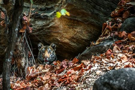 panthera tigris: Young Bengal tiger in natural habitat. The Bengal (Indian) tiger Panthera tigris tigris. National park of India Stock Photo
