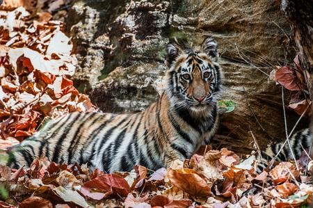 Young Bengal tiger in natural habitat. The Bengal (Indian) tiger Panthera tigris tigris. National park of India Stock Photo