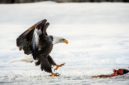 head: Bald Eagle ( Haliaeetus leucocephalus ) landed on snow . Chilkat RiverAlaska USA. Stock Photo