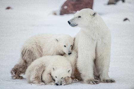 Polar she-bear with cubs. A Polar she-bear with two small bear cubs on the snow. The polar bear (Ursus maritimus)