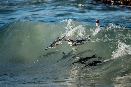marine bird: African penguins swimming in ocean wave. The African penguin (Spheniscus demersus), also known as the jackass penguin and black-footed penguin is a species of penguin. South Africa.