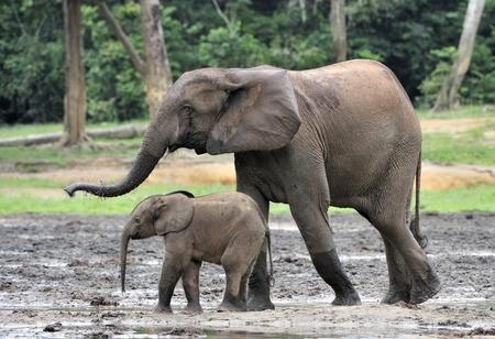 La cría de elefante y vaca elefante El elefante de bosque, Loxodonta africana cyclotis. En la solución salina Dzanga (un claro del bosque) República Centroafricana, Dzanga Sangha Foto de archivo