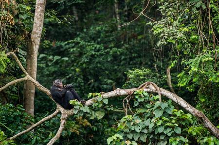 bonobo: Bonobo (Pan Paniscus) on a tree branch. Democratic Republic of Congo. Africa