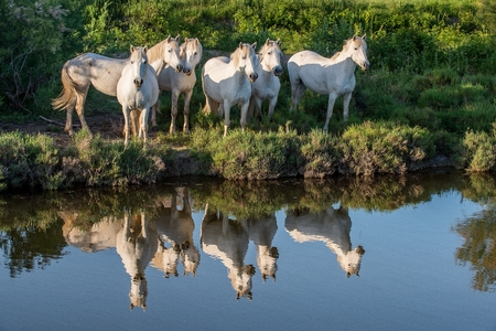 camargue: Portrait of the White Camargue Horses reflected in the water.  Camargue. France