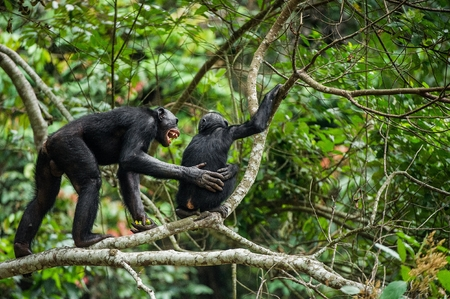 Bonobo (Pan Paniscus) on a tree branch. Democratic Republic of Congo. Africa Stock Photo
