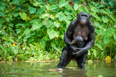 bonobo: The chimpanzee Bonobo with cub in the water . At a short distance, close up. The Bonobo ( Pan paniscus), called the pygmy chimpanzee. Democratic Republic of Congo. Africaa