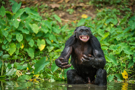 pan paniscus: The chimpanzee Bonobo in the water with pleasure and smiles. At a short distance, close up. The Bonobo ( Pan paniscus), called the pygmy chimpanzee. Democratic Republic of Congo. Africa Stock Photo