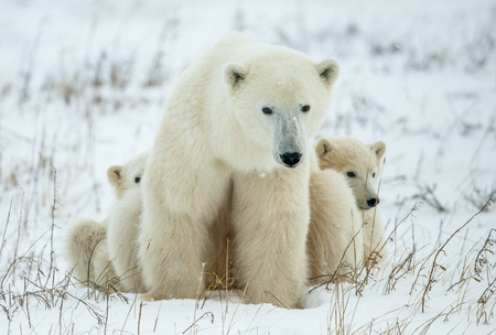 Polar she-bear with cubs. A Polar she-bear with two small bear cubs on the snow. The polar bear (Ursus maritimus) Banque d'images