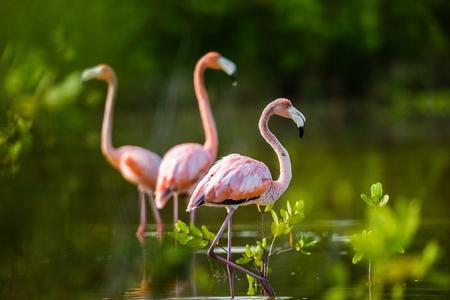 florida flamingo: Caribbean flamingos ( Phoenicopterus ruber ruber ) on pond in Cuba. Stock Photo