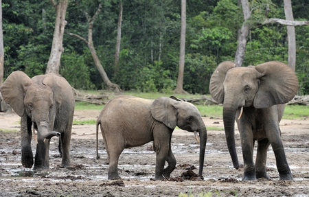 big ear: The African Forest Elephant, Loxodonta africana cyclotis, (forest dwelling elephant) of Congo Basin. At the Dzanga saline (a forest clearing) Central African Republic, Sangha-Mbaere, Dzanga Sangha