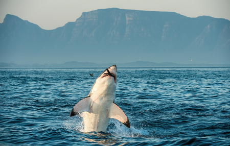 Great White Shark (Carcharodon carcharias) breaching in an attack on seal and swallowed a seal. Hunting of a Great White Shark (Carcharodon carcharias). South Africa Foto de archivo
