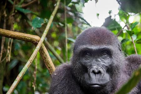 gorila: Retrato de un gorila de llanura occidental (Gorilla gorilla gorilla) de cerca a una corta distancia. hembra adulta de un gorila en un h�bitat natural. Selva de la Rep�blica Centroafricana. Foto de archivo