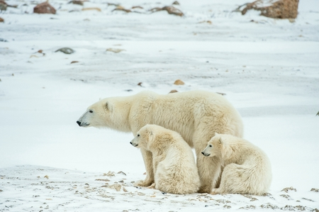 touching noses: Polar she-bear with cubs. A Polar she-bear with two small bear cubs on the snow. The polar bear (Ursus maritimus) Stock Photo