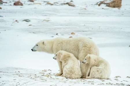 Polar she-beer met welpen. Een Polar berin met twee kleine beer welpen op de sneeuw. De ijsbeer (Ursus maritimus)