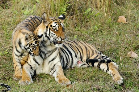 tigress: The wounded tigress becomes angry about the annoying kid. India. Bandhavgarh National Park. Tigress with a kitten on a grass.