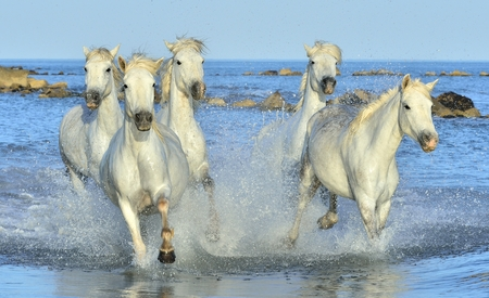 white water: Herd of White Camargue Horses running on the water . Parc Regional de Camargue - Provence, France