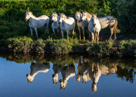 Portrait of the White Camargue Horses reflected in the water. France. Camargue