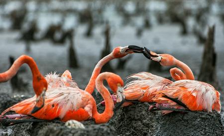 aggresive: American Flamingos or Caribbean flamingos Phoenicopterus ruber ruber. Colony of Great Flamingo the on nests. Rio Maximo, Camaguey, Cuba.