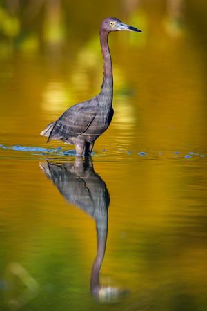 everglades national park: Adult Little Blue Heron, ( Egretta caerulea ) Corkscrew Swamp, Natural Colorfull background Stock Photo