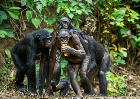 bonobo: Portrait of family of a Chimpanzee bonobo ( Pan paniscus). Democratic Republic of Congo. Africa