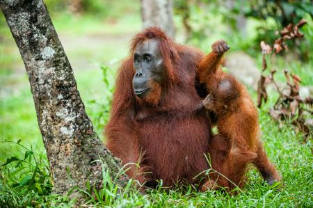 rainforest: A female of the orangutan with a cub in a native habitat. Bornean orangutan (Pongo pygmaeus) in the wild nature.Rainforest of Island Borneo. Indonesia
