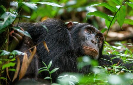 simia troglodytes: Close up portrait of old chimpanzee Pan troglodytes resting in the jungle of Kibale forest in Uganda Stock Photo