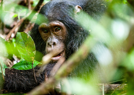 pan tropical: Close up portrait of old chimpanzee Pan troglodytes resting in the jungle of Kibale forest in Uganda Stock Photo
