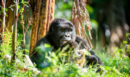 gorila: Retrato de un gorila de monta�a a una distancia corta. gorila de cerca portrait.The gorila de monta�a (Gorilla beringei beringei)