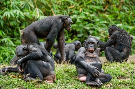 bonobo: The Bonobo ( Pan paniscus) family, called the pygmy chimpanzee. Democratic Republic of Congo. Africa Stock Photo