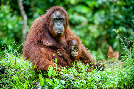 A female of the orangutan with a cub in a native habitat. Bornean orangutan (Pongo o pygmaeus wurmmbii) in the wild nature.Rainforest of Island Borneo. Indonesia.