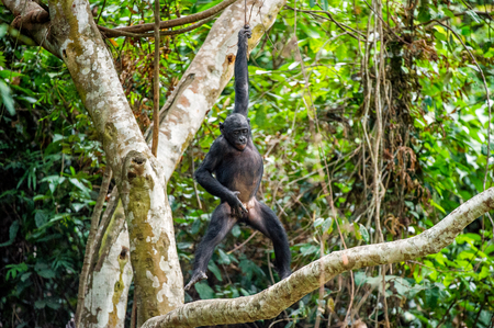 pan paniscus: The cub of Bonobo frolics in branches of trees. Natural conditions of dwelling.The cub Bonobo on a tree branch. Chimpanzee bonobo ( Pan paniscus). Congo. Africa