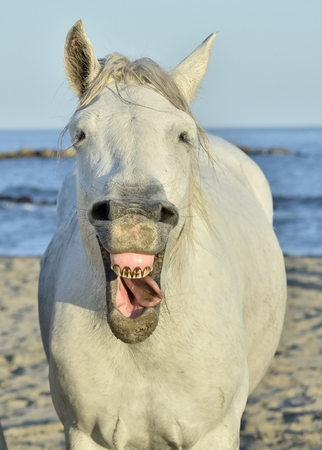 funny face: Funny portrait of a laughing horse. Camargue horse yawning, looking like he is laughing.