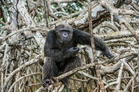 simia troglodytes: Portrait of an adult chimpanzee (Pan troglodytes)  in branches of mangrove trees. Republic of the Congo. Conkouati-Douli Reserve.