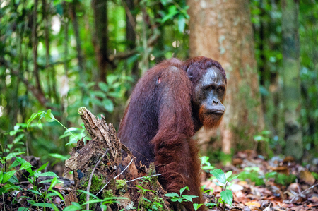 exclusively: The Bornean orangutan. Pongo pygmaeus wurmbii - southwest populations. The orangutans are the only exclusively. Background dark green foliage in the wild nature. Borneo. Indonesia.