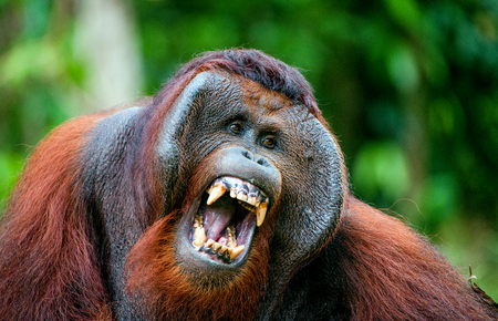 The adult male of the Orangutan. The orangutan yawns, widely having opened a mouth and showing canines. The Bornean orangutan (Pongo pygmaeus) Stock Photo