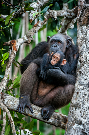 simia troglodytes: Chimpanzee (Pan troglodytes)  with a cub on mangrove branches. Mother-chimpanzee sits and holds on hands of the cub