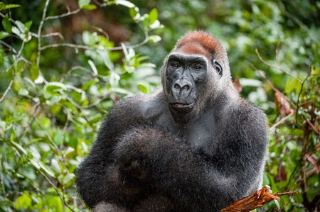 western lowland gorilla: Portrait of a western lowland gorilla (Gorilla gorilla gorilla) close up at a short distance. Silverback - adult male of a gorilla in a native habitat. Jungle of the Central African Republic Stock Photo