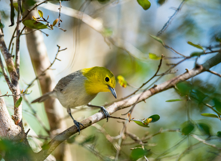 warbler: The yellow-headed warbler (Teretistris fernandinae). Yellow-headed Warbler (Teretistris fernandinae) adult male, perched on twig, Zapata Peninsula, Matanzas Province, Cuba, March Stock Photo