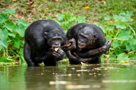 pan paniscus: The chimpanzee Bonobo in the water. At a short distance, close up. The Bonobo ( Pan paniscus), called the pygmy chimpanzee. Democratic Republic of Congo. Africa