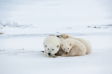 Polar she-bear with cubs. A Polar she-bear with two small bear cubs on the snow. The polar bear (Ursus maritimus) Stock Photo