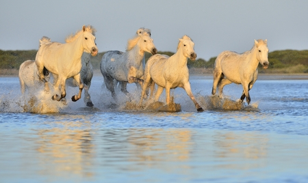 camargue: Herd of White Camargue Horses running on the water . Parc Regional de Camargue - Provence, France