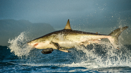 breaching: Great White Shark Carcharodon carcharias breaching in an attack. South Africa Stock Photo