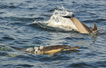 dolphins: Group of dolphins, swimming in the ocean and hunting for fish. The jumping dolphins comes up from water. The Long-beaked common dolphin scientific name: Delphinus capensisswim in atlantic ocean.