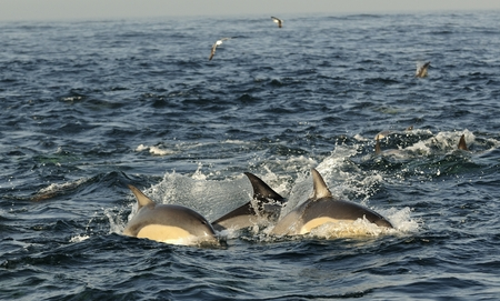 short wave: Group of dolphins, swimming in the ocean  and hunting for fish. The jumping dolphins comes up from water. The Long-beaked common dolphin (scientific name: Delphinus capensis) swim in atlantic ocean. South Africa
