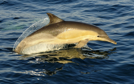 dolphins: Group of dolphins, swimming in the ocean and hunting for fish. The jumping dolphins comes up from water. The Long-beaked common dolphin scientific name: Delphinus capensis in atlantic ocean. South Africa