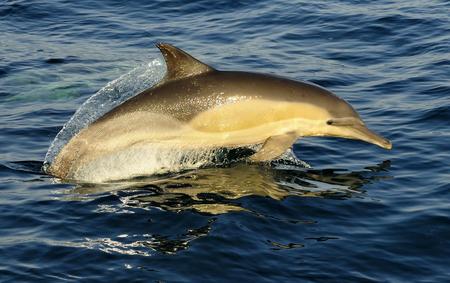 dauphin: Groupe de dauphins, nager dans l'oc�an et la chasse pour les poissons. Les dauphins de saut monte de l'eau. Le dauphin commun Nom scientifique � long bec: Delphinus capensis dans l'oc�an atlantique. Afrique du Sud
