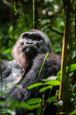 silverback: Portrait of a western lowland gorilla (Gorilla gorilla gorilla) close up at a short distance. Silverback - adult male of a gorilla in a native habitat. Jungle of the Central African Republic Stock Photo