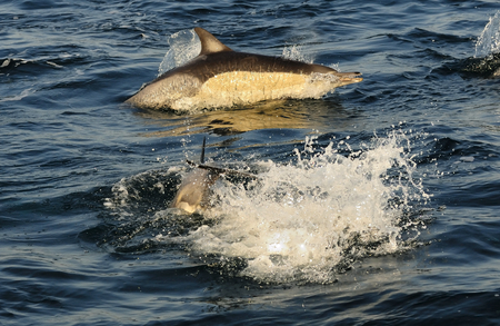 warm water fish: Group of dolphins, swimming in the ocean and hunting for fish. The jumping dolphins comes up from water. The Long-beaked common dolphin scientific name: Delphinus capensis in atlantic ocean. South Africa
